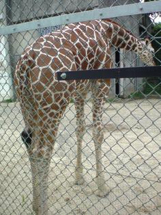 giraffe kyoto.jpg