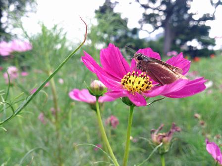 hamarikyu cosmos butterfly.jpg