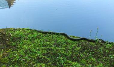 japanese rat snake 2.jpg
