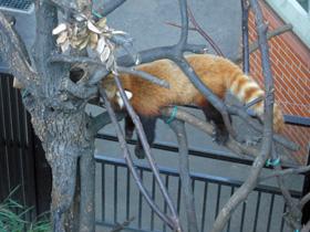 lesser panda 2.jpg