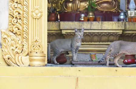 myanmar cat.jpg