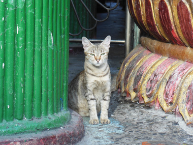 myanmar cat 2.jpg