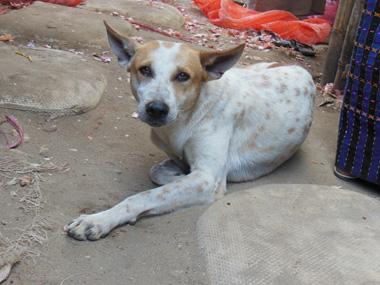 myanmar local market dog.jpg