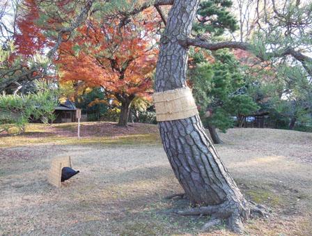 rikugien pine tree.jpg