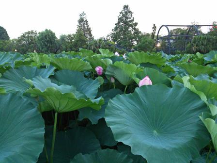 ueno lotus.jpg