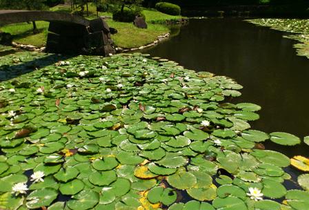 water lily koishikawa 4.jpg